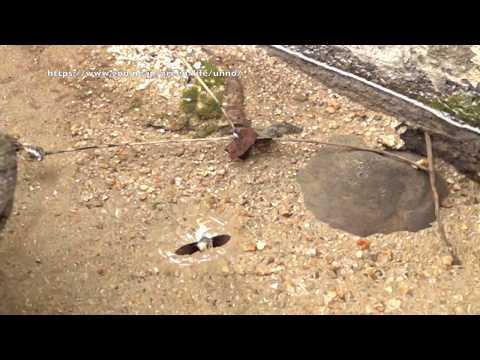 ホウジャクの水浴び Bathing of Macroglossinae