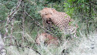 Leopard reproduction - South Africa