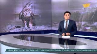 Пограничники Шымкента предотвратили попытку провоза краснокнижных птиц соколов