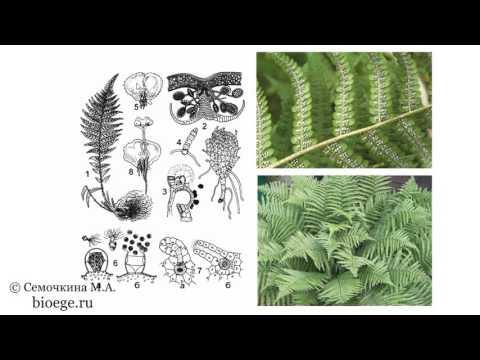 Биология в картинках: Цикл развития щитовника мужского (Вып. 33)