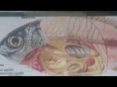 Istraktura at buhay cycle ng Giardia