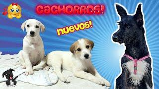 ¡HERMANITOS CACHORROS! Bienvenidos a CASA! Lana