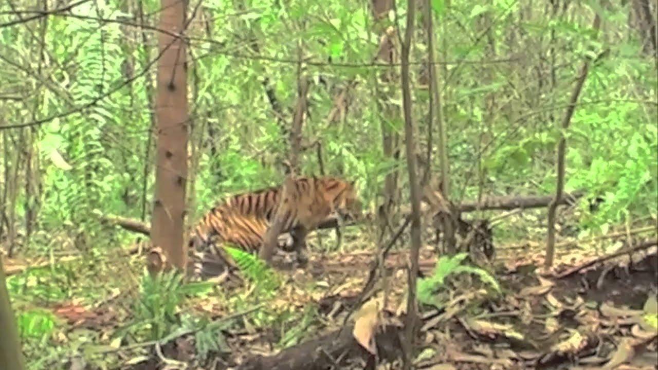 Sumatran tiger caught in boar trap thumbnail