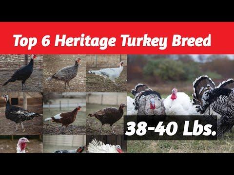 , title : 'Top 6 Best Heritage Turkey Breeds- Maganda sa Backyard