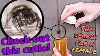 Collecting Wild Jumping Spiders! by Snake Discovery