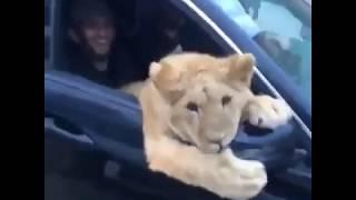 Случайно увидели Льва в автомобиле... Приколы про животных.