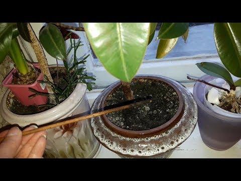 КАК ЧАСТО ПОЛИВАТЬ комнатные растения.