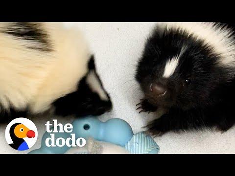 Adorable Baby Skunk