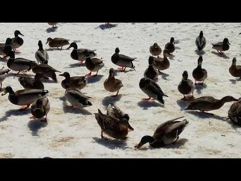 Утки на речке Клязьма