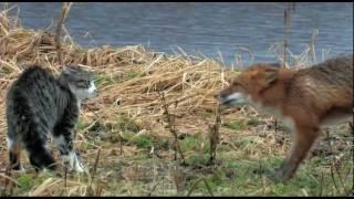 Лиса и кот. Встреча. //Животные для детей.//Природа России.//Cat vs fox.