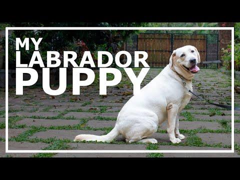 Labrador rossz látás