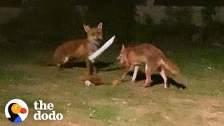 Foxes Sneak Into Backyard And The Cutest Thing Happens | The Dodo Wild Hearts by The Dodo