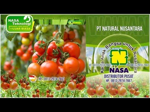 Video Cara Budidaya Tomat Yang Baik Dan Benar