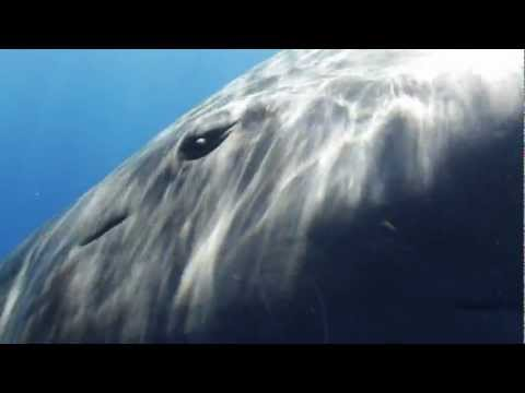 Snorkeling with a Juvenile Sperm Whale