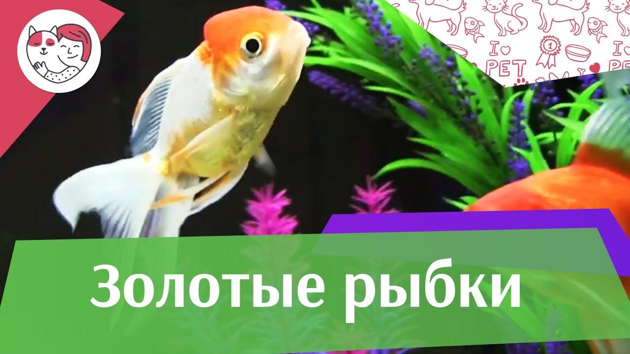 Золотые рыбки Ч 1 АкваЛого на ilikePet