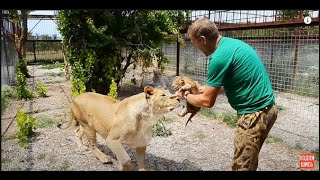 УРА !!! Львица Мама Чоли родила !!!   The lioness Mother choli gave birth !!