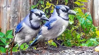 Relax Your Pet | Blue Jays For Pets | 8 Hour Bird Entertainment Video For Cats | Leave On All Day