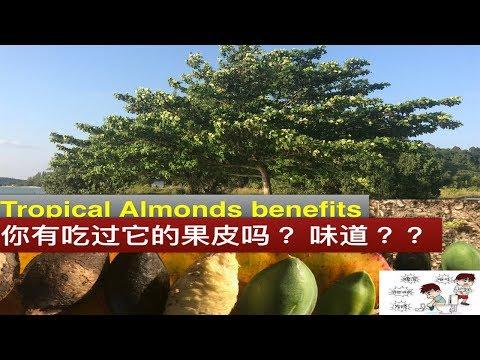 大叶榄仁树功效与作用。Manfaat ketapang。 Terminalia catappa health benefits .