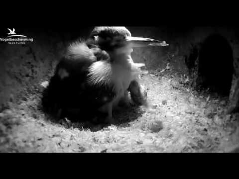 Chick Brings Up Pellet - 24.04.17