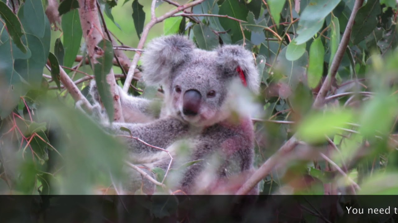 Wild Koala Day 2019 with Rhonda James part 1