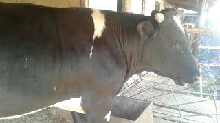Рацион бычков при откорме на мясо