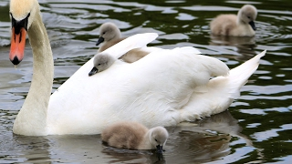 Swan's nest and hatching of cygnets