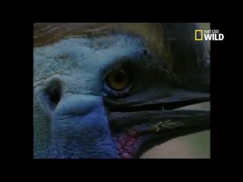 Le casoar à casque, oiseau le plus dangereux du monde !