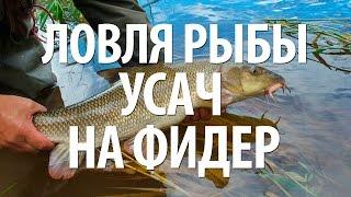 Рыба усач на что ловится лучше