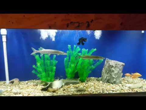 Alligator gar, Muskie, and Tiger Muskie in 500 Gal DIY plywood aquarium (part 1)