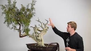Creating a Juniper Bonsai from Yamadori material
