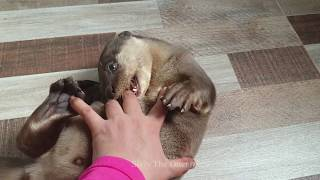 Sivly The Otter like to play to much