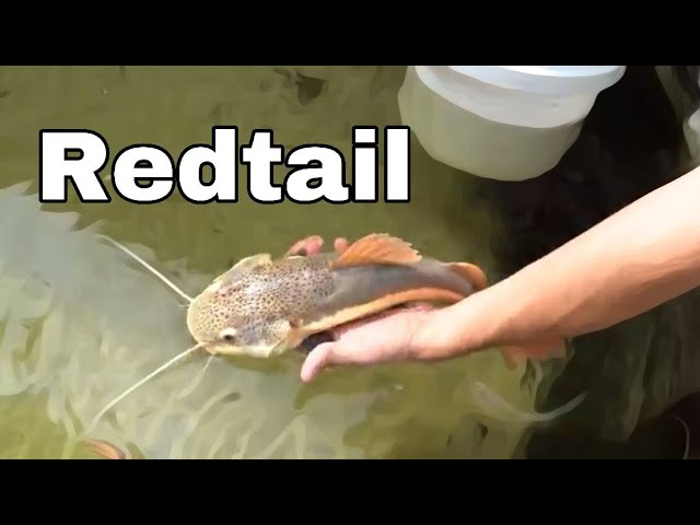 SAVING BABY REDTAIL From WRECKED POND (JAWS ATTACK)