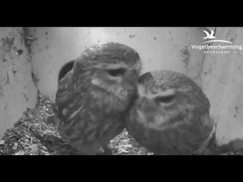 Little Owls Family 2: Preening in Nest Box - 29.03.17