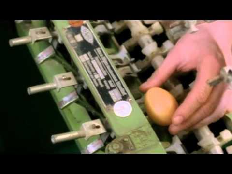 Wie sich ljamblii fortpflanzen