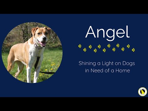 Angel, an adoptable Hound Mix in Silverdale, WA_image-1