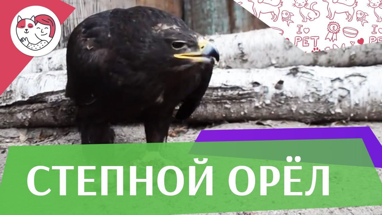Степной орёл Питание на ilikepet