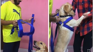 Wearing Harness To My Dog For The First Time | Dog Harness