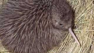 Skin & Bones - Animal Life: Brown Kiwi