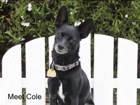 Cole 2, an adopted Chihuahua Mix in Ventura, CA
