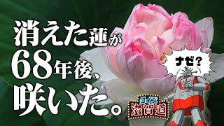 消滅した蓮が再び咲いた理由とは?:クイズ滋賀道