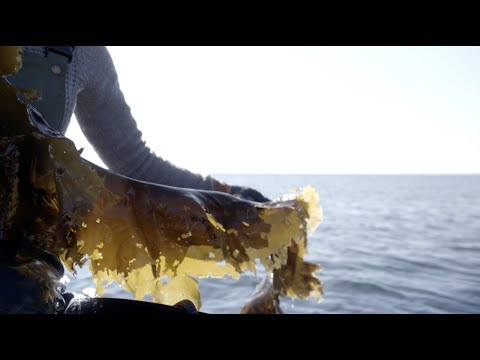 Why kelp farming is the perfect complement to lobstering