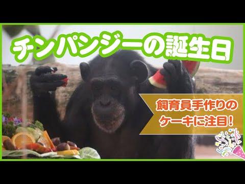 チンパンジーみるくの誕生日