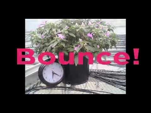 Bounce Interspecific Impatiens thumbnail