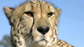 endangered cheetah information