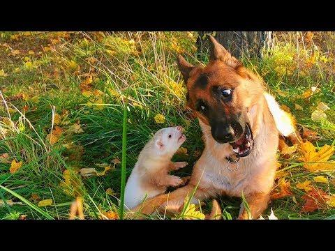 Необычная дружба собаки и хорька