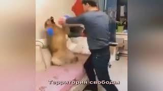БОКС, СОБАКА БОКСЕР, МУЖИК ТРЕНИРУЕТ ПСА