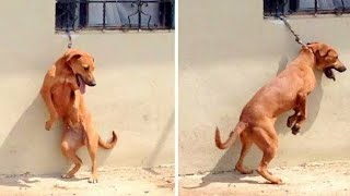 Poor Dog Tied To A Short Chain Forced To Stand On Back Legs On A Hot Day