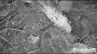 SWFL Eagles ~ Live Flopping Catfish On The Babies ~ E13 Goes On A Wild Ride; Aggression 1.11.19