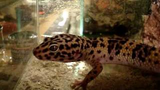 Hunting leopard gecko