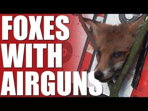 Fieldsports Britain – Foxes with airguns